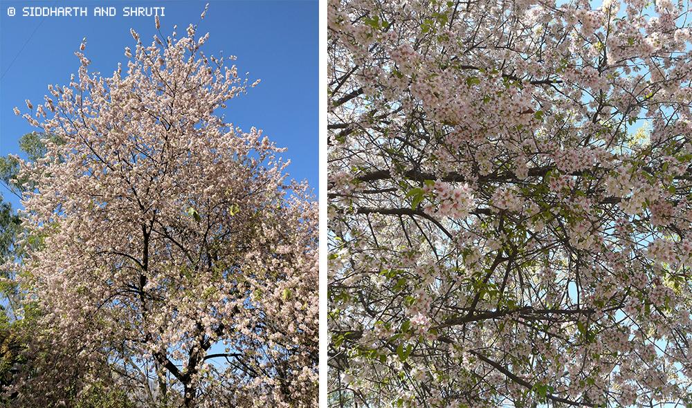 siddharthandshruti cherry blossom
