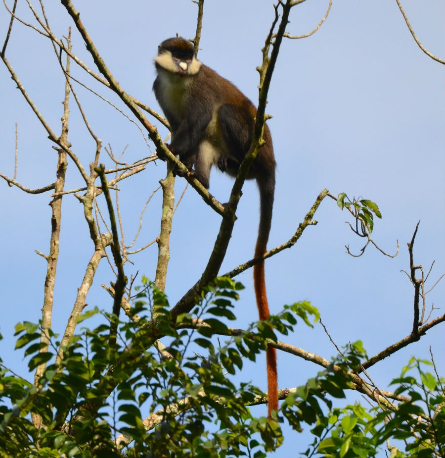 A red-tailed monkey in Mpanga Forest