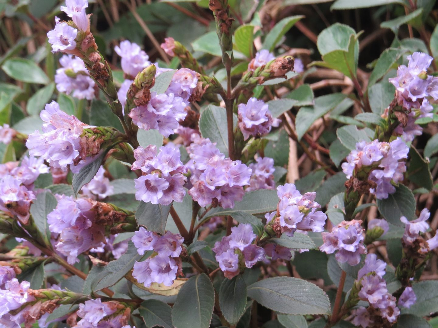 Neelakurinji blooming in 2018