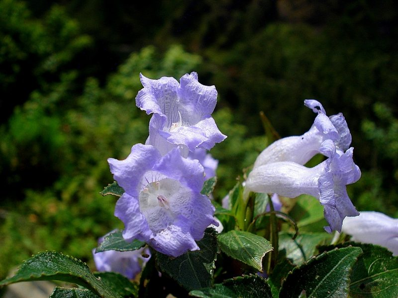 The mysterious Neelakurinji flowers that bloom once in 12 years are blooming in 2018!